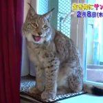 猛獣みたいな猫SPの巨大猫はヨーロッパオオヤマネコ?日本で飼うには?施設や価格は?【トコトン掘り下げ隊】