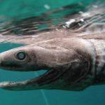 ラブカの味は?鉄腕ダッシュの深海魚!シンゴジラのモデルで地震の予兆??