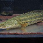 琵琶湖の巨大外来魚はポリプテルス?特定指定は?越冬は?価格や種類も調査!VS最強生物
