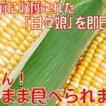 所さんお届けモノです生で食べれるとうもろこし市川三郷町『甘々娘(かんかんむすめ』のお取り寄せ通販は?