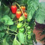 ドリアン助川のトマトの通販・お取り寄せは?三宅サンマルツァーノを作る理由とは?【爆報】