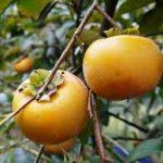 太秋柿(横浜ブランド浜柿)の通販・お取り寄せは?梨のような食感で甘くてジューシー!長谷川果樹園がごはんジャパンで話題!