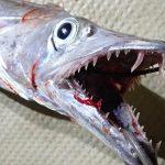 秋吉久美子は太刀魚釣りが好き?釣り船(乗合船)の港(店)の場所やタックル(道具)は?太刀魚のドラゴンって?【ダウンタウンなう】