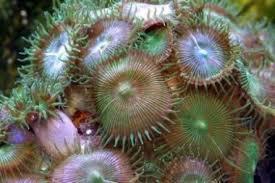 毒珊瑚の毒が気化?マウイイワスナギンチャクのパリトキシンで呼吸困難に!日本で販売(通販)は?