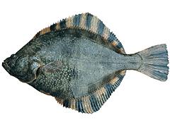 電気締めでゴソガレイ(ヌマガレイ)10円の魚が180倍?AEDがヒントの北海道根室市松田商店の新技術!通販は?【初耳学】